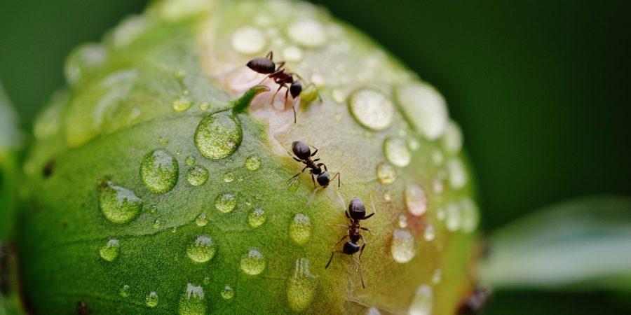 formiche su peonia