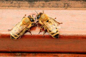 antennamento tra due api