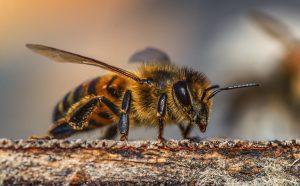 antenne di ape mellifera