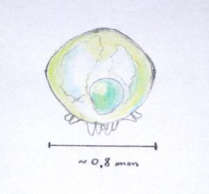 protoninfa di Varroa destructor