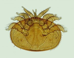 Varroa destructor al microscopio