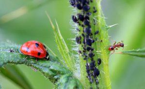 formiche allevano gli afidi