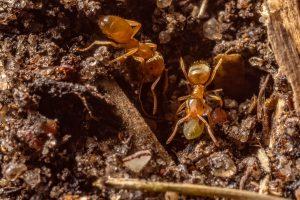 formiche Lasius accudiscono una larva