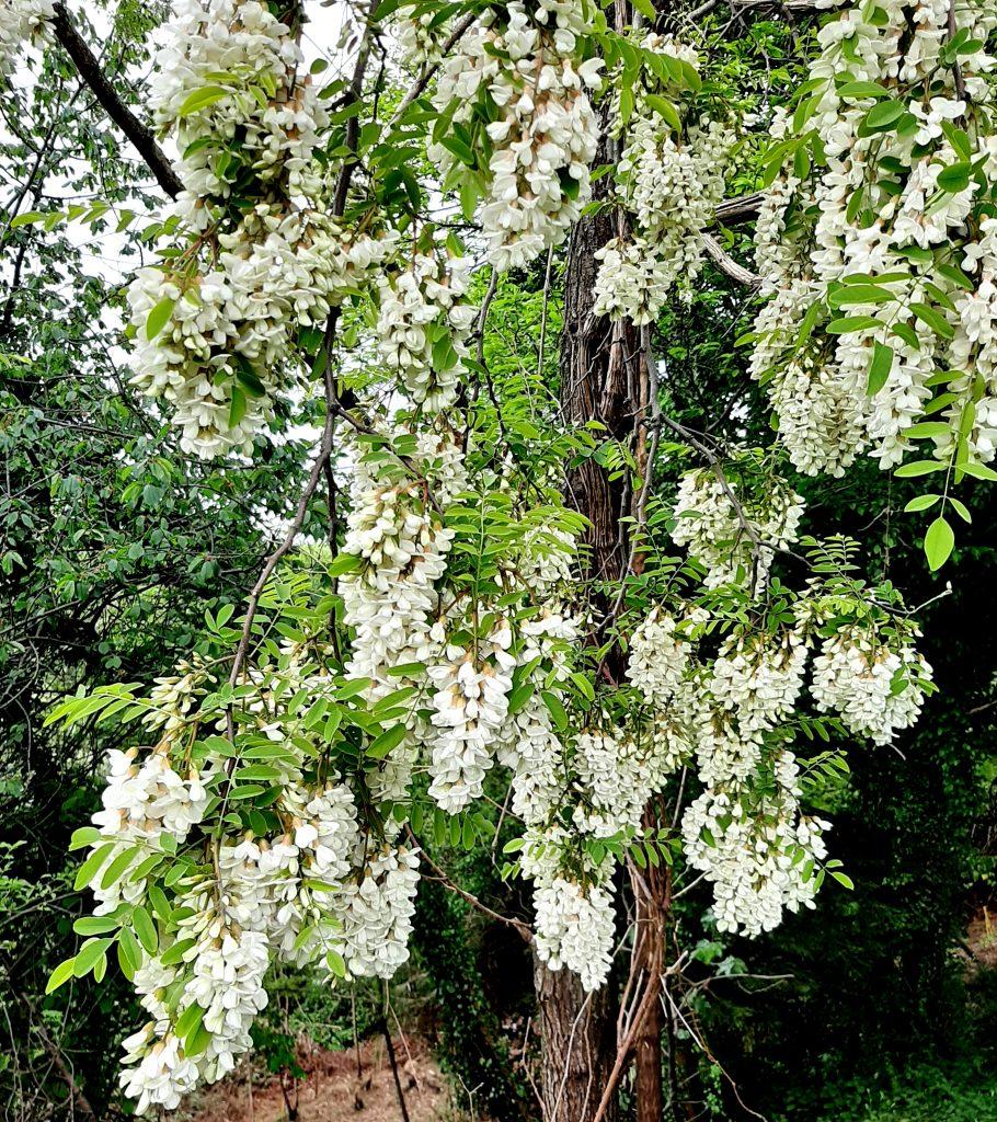 acacia fiorita