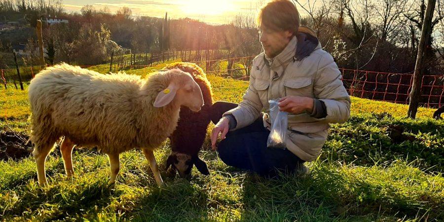 pecore, collina, tramonto